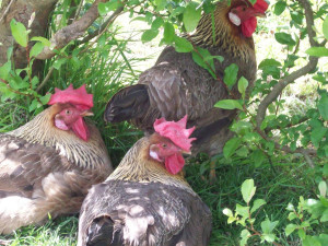 free_range_chickens