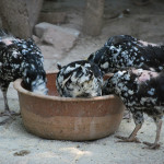spotted_chickens